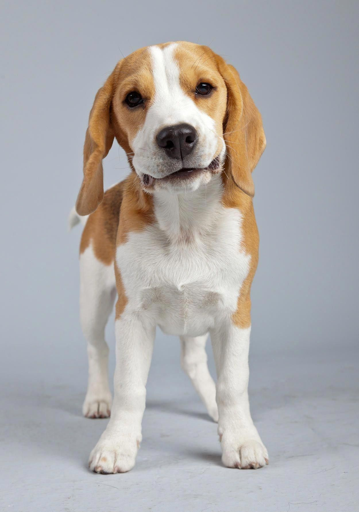 The Many Things I Admire About The Loving Beagle Puppy