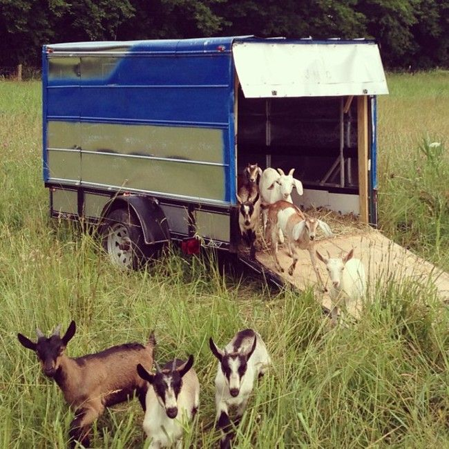 Portable Shelters Farm : Baby goats on pasture near a movable shelter to be