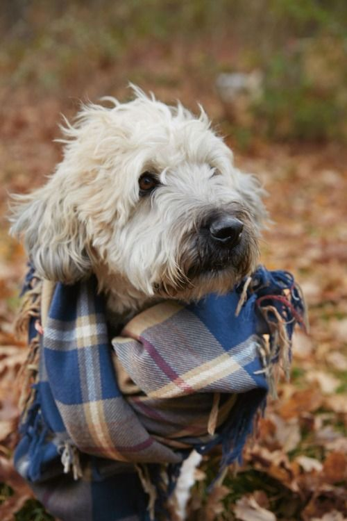 Dog Sporting An Oversized Blue Plaid Scarf Dogs And Puppies