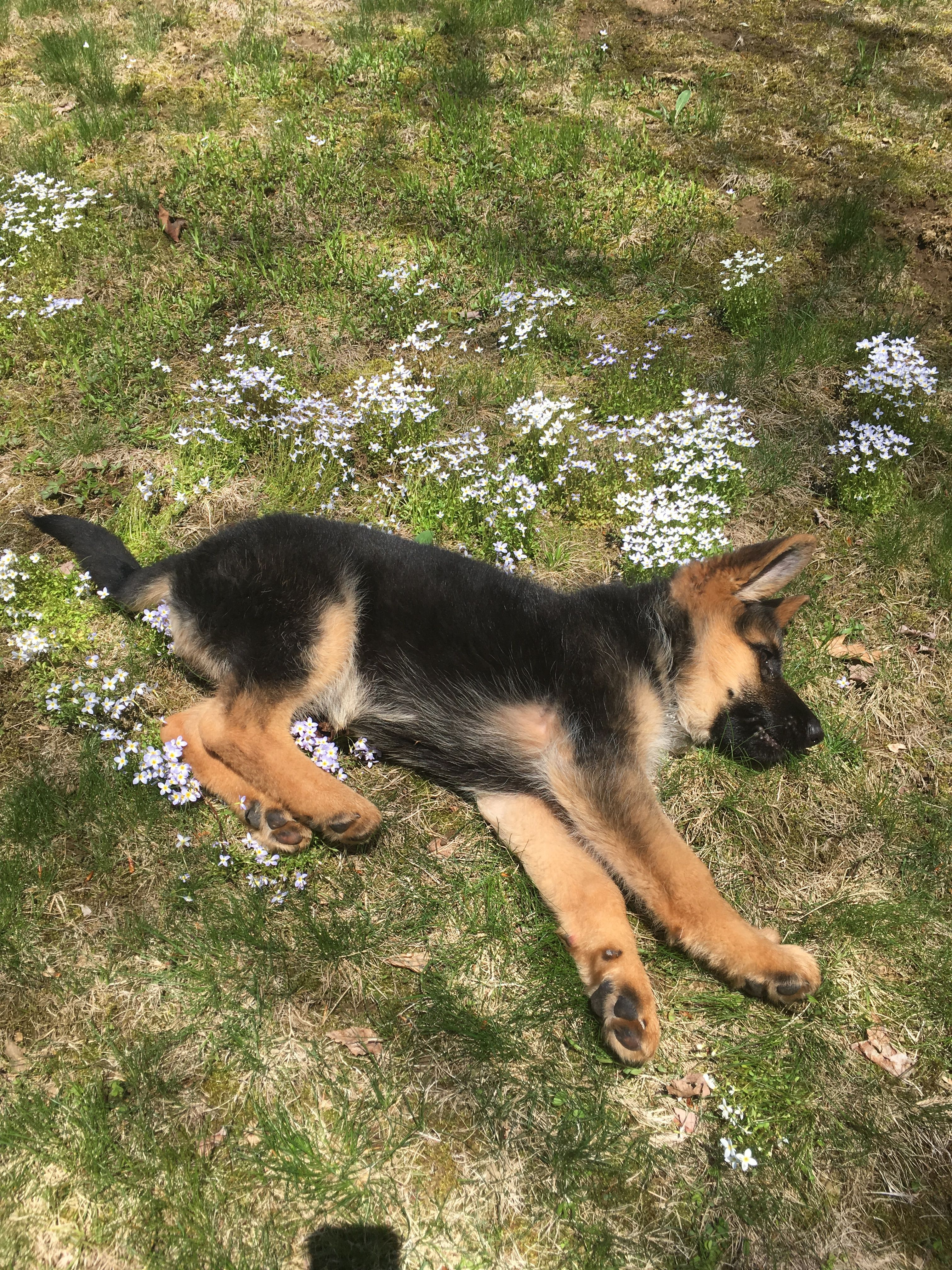 10 Phenomenal German Shepherd Choosing Feeding Socializing