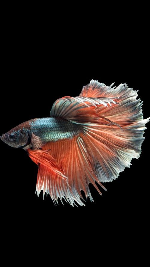 Apple Iphone 6s Wallpaper With Multicolor Male Betta Fish In Dark Background Betta Fish Fish Wallpaper Siamese Fighting Fish