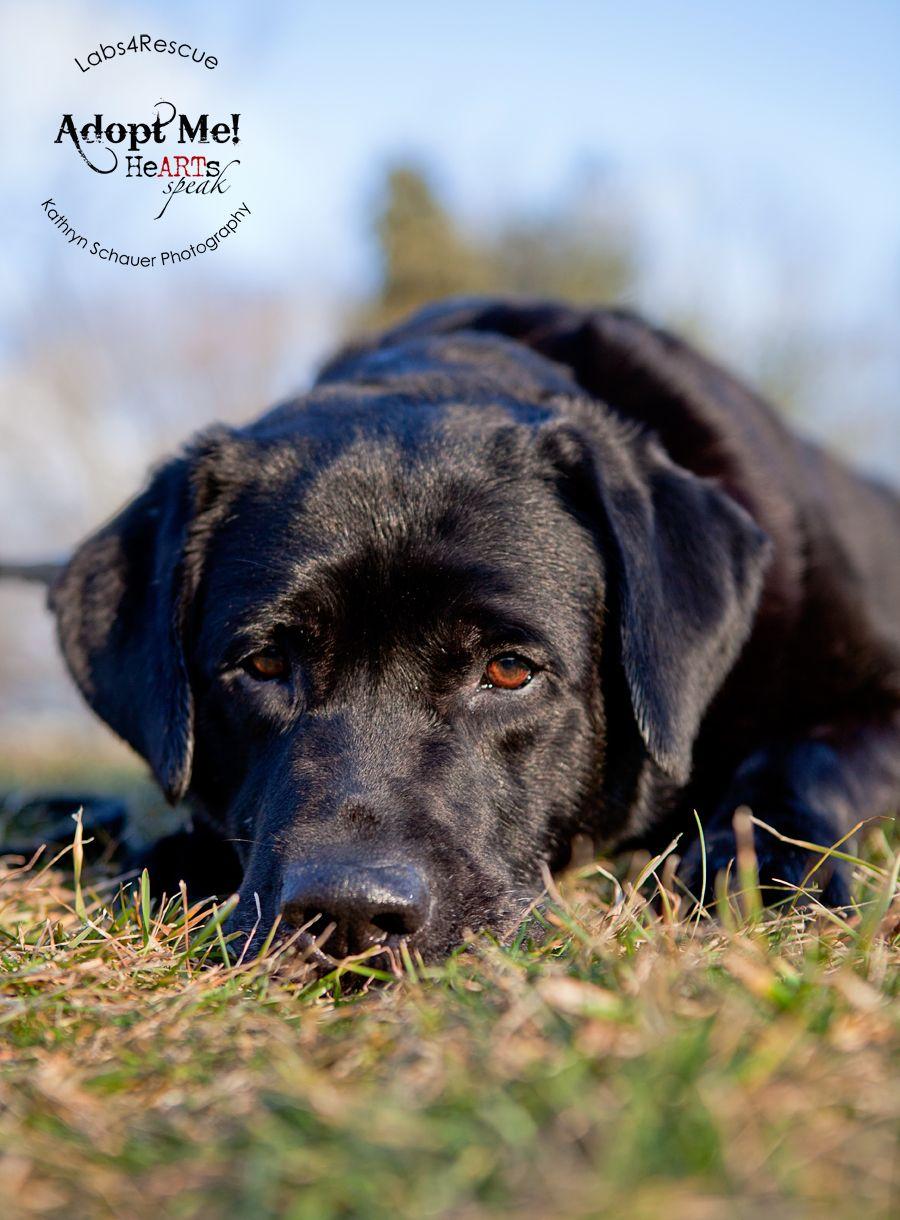 Labradors Com Our Featured Adoptable Labrador Shadow Rescue Adopt Labrador Black Dog Animal Photography
