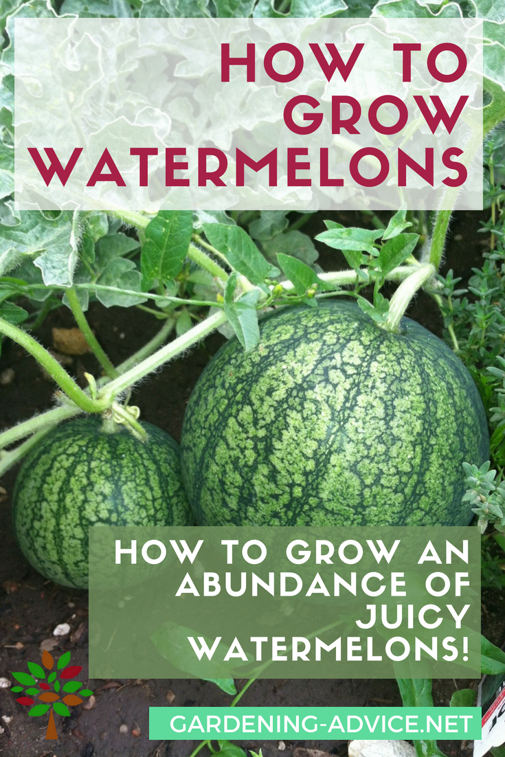 Growing Watermelons - Learn the tricks and how to's!