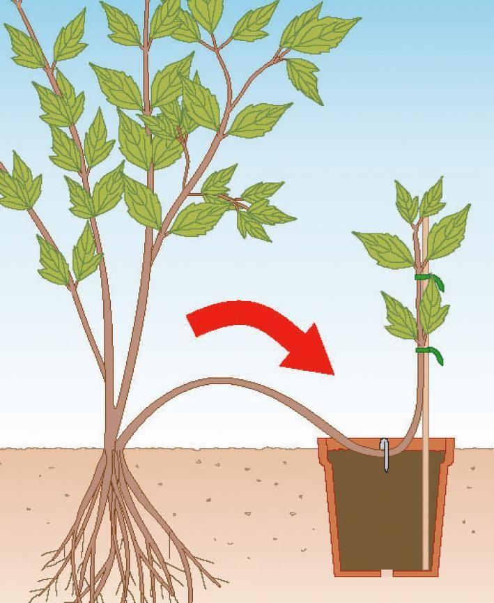 clematis durch ableger vermehren clematis garden plants. Black Bedroom Furniture Sets. Home Design Ideas