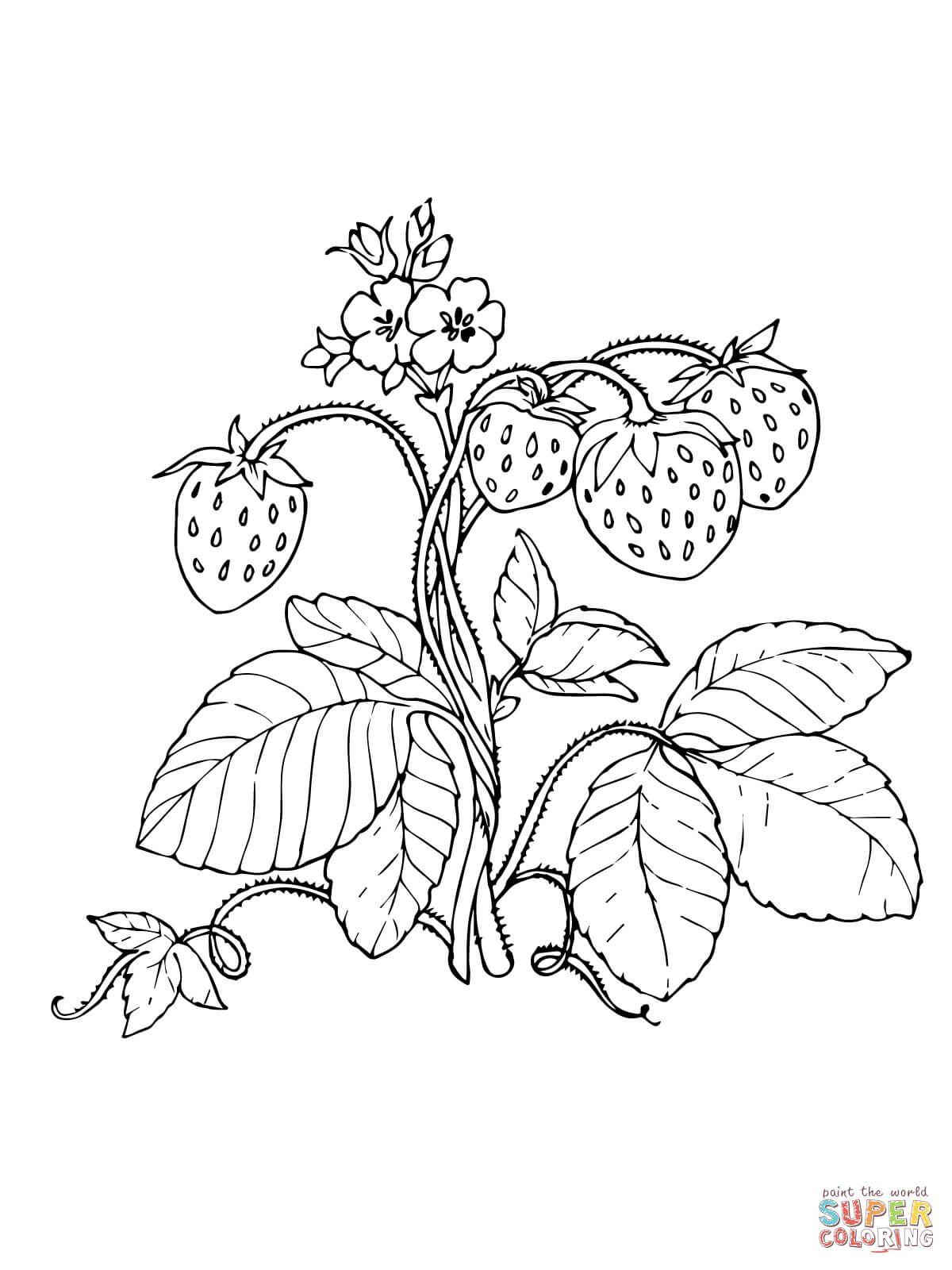 Bildergebnis für malvorlage erdbeere Strawberry coloring