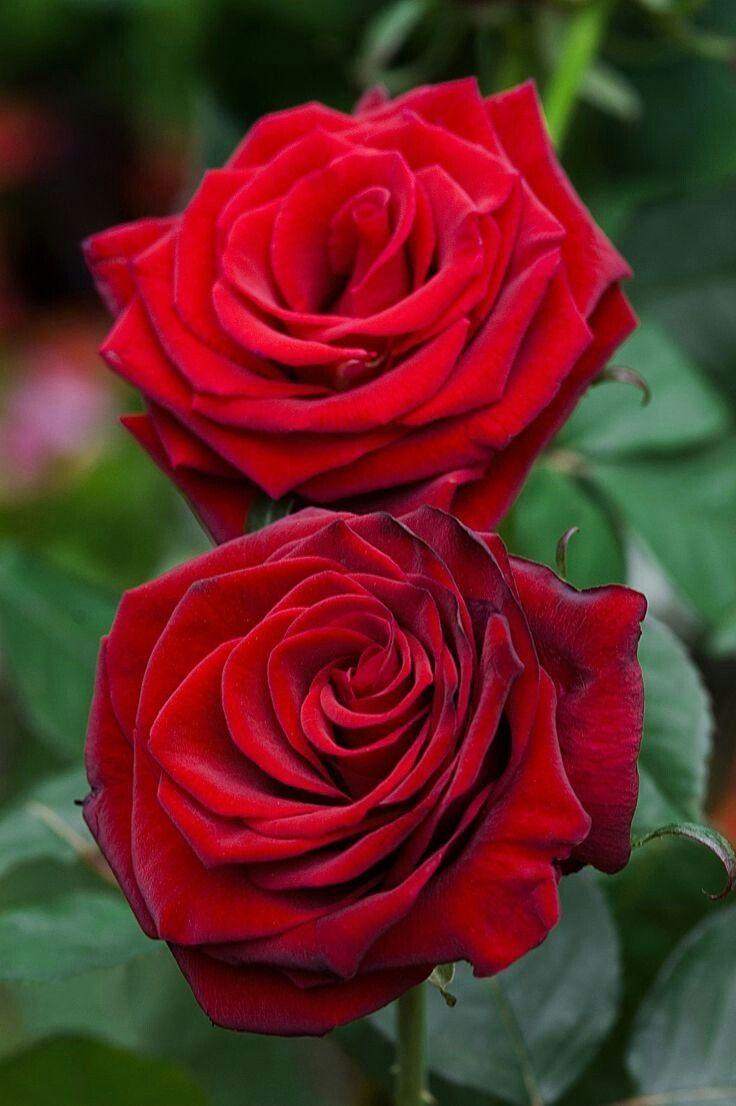 ภเгคк ค๓๏ Rosas de té híbridas, Jardín de rosas, Flores