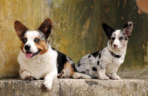 I Day I Will Have A Dapple Three Dog Night Corgi Dogs