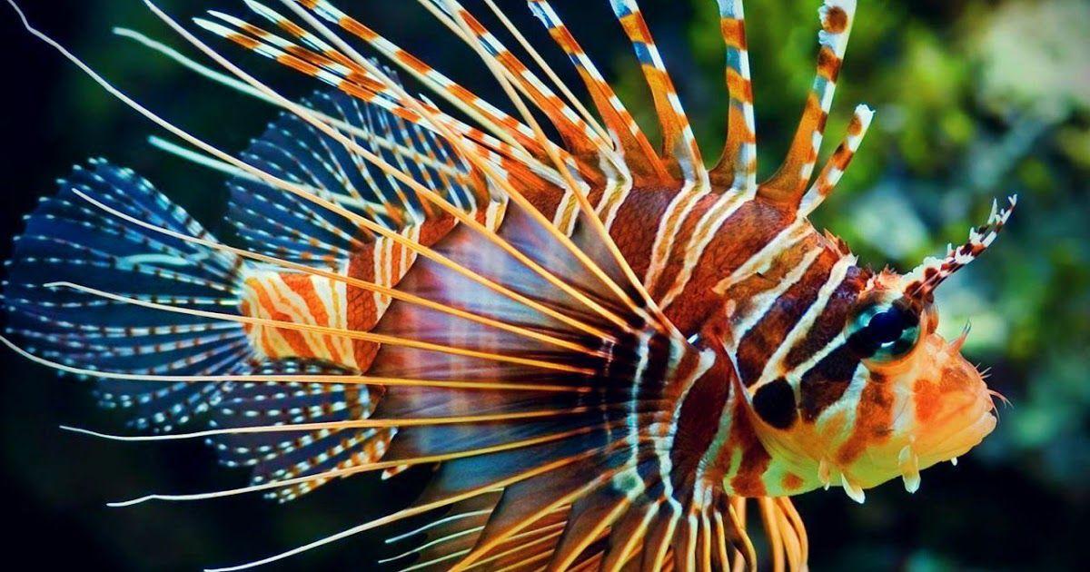 صور اسماك 2019 اجمل خلفيات اسماك ملونه عرض هذه الصور المعلقة للأسماك في المياه المالحة في هذه المعارض الصور تم تقديم هذه Meerestiere Feuerfisch Zeichnungen