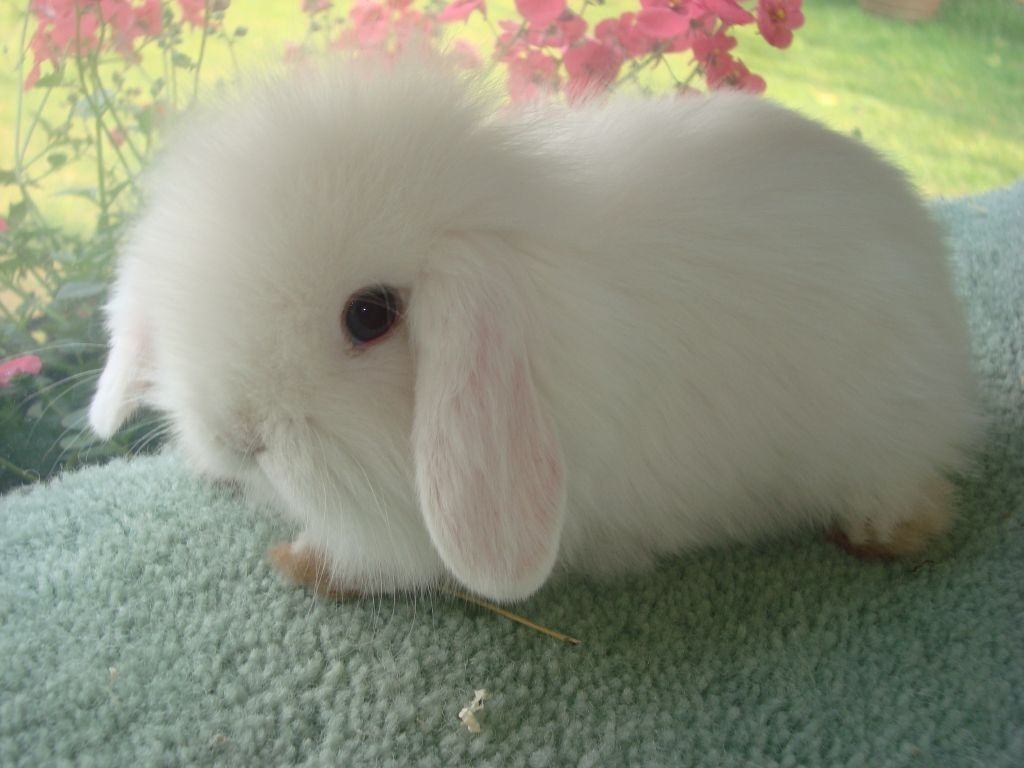 white baby bunnies with blue eyes google search birthday bunny