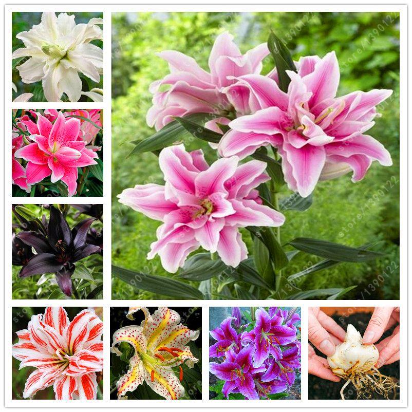 1 전구 참 릴리 전구, 더블 백합 꽃 전구 (릴리 씨앗), 분재 냄비 Bulbous 꽃 루트 나리 식물 홈 정원