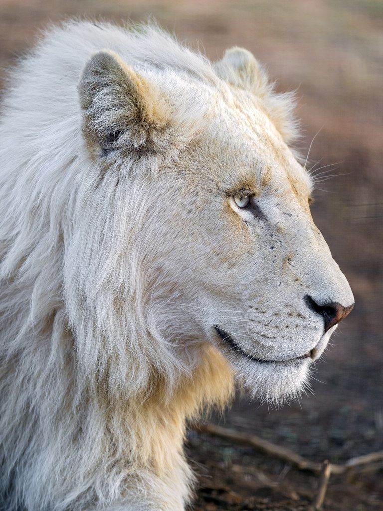 Pin By Andreia Filipa On Lions And Wild Cats White Lion Lion Photography Lions