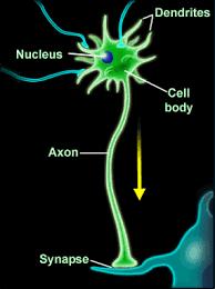 Image Result For Neurons Firing Gif Neurons Brain Neuropsychology