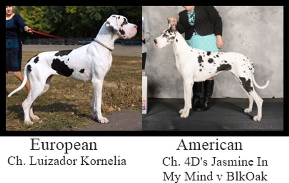 Vulpine Great Danes Euro Vs American Great Dane