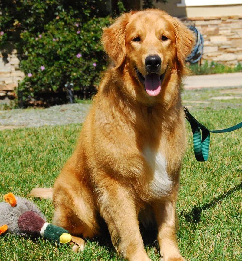 Adopt truman on petfinder dogs golden retriever golden
