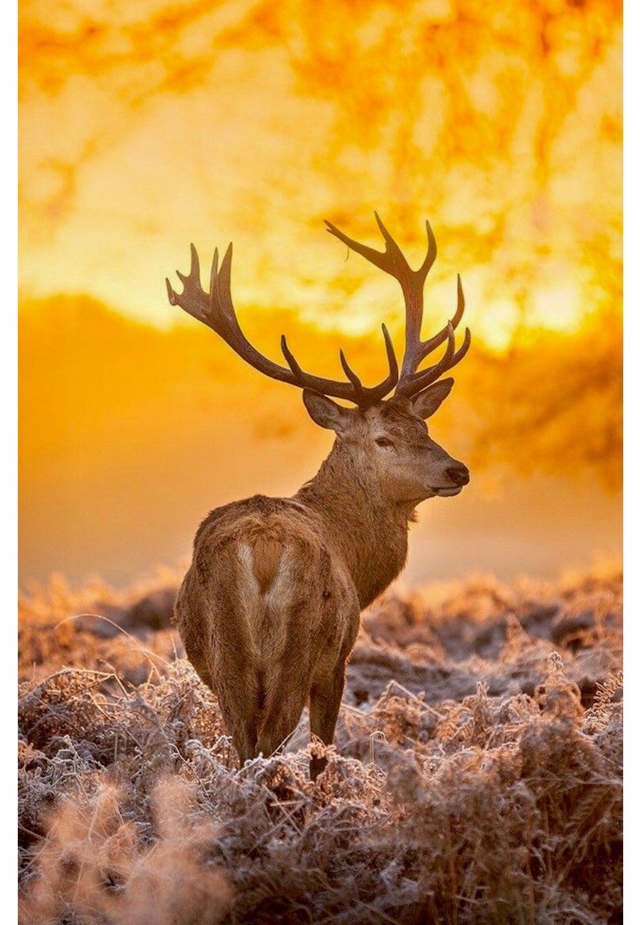 European Red Deer Stag At Sunset Beautiful Deer Background Deer Wallpaper Deer