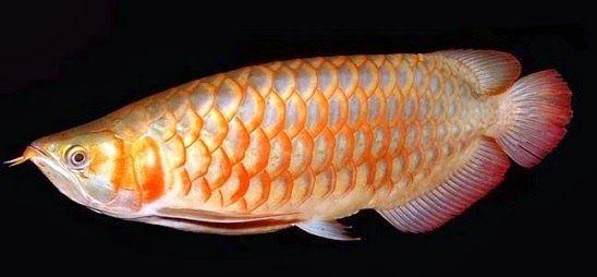 Umpan Jitu Mancing Ikan Arwana Ikan Ikan Air Tawar Ikan Akuarium