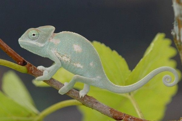 how to take care of a baby veiled chameleon
