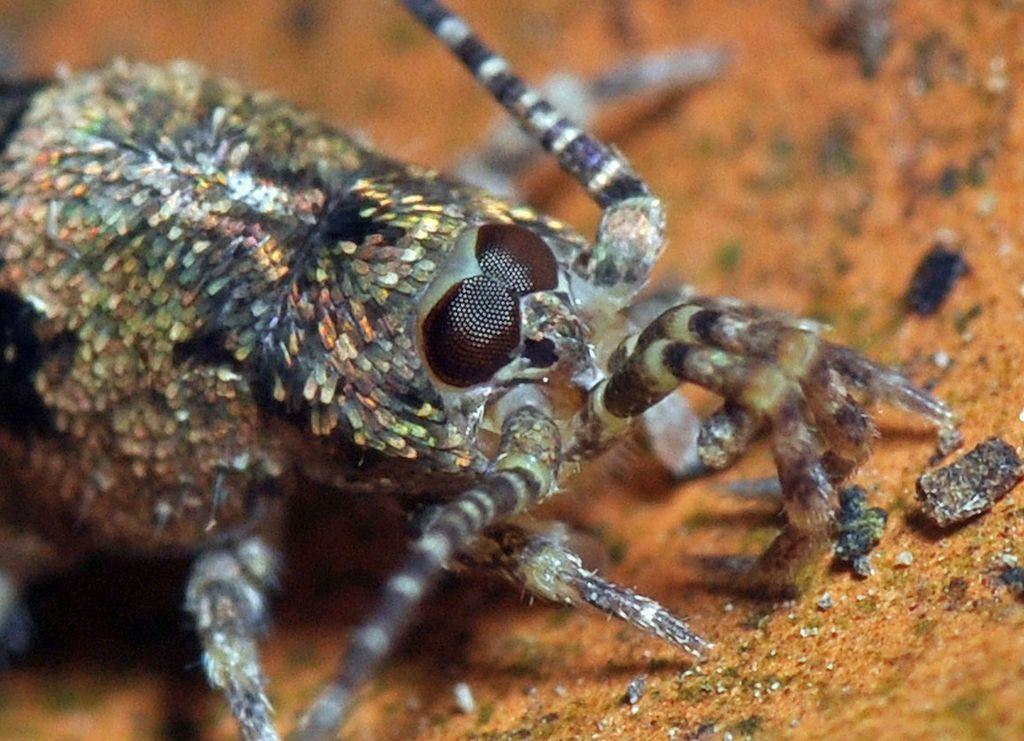 Tête de Trigoniophthalmus alternatus - Archaeognatha - Wikipedia