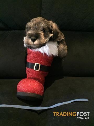 Miniature Schnauzer Puppies For Sale In Traralgon Vic Miniature