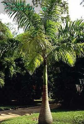 Palm Tree Picture Coconut Palm Tree Palm Tree Pictures Palm Trees