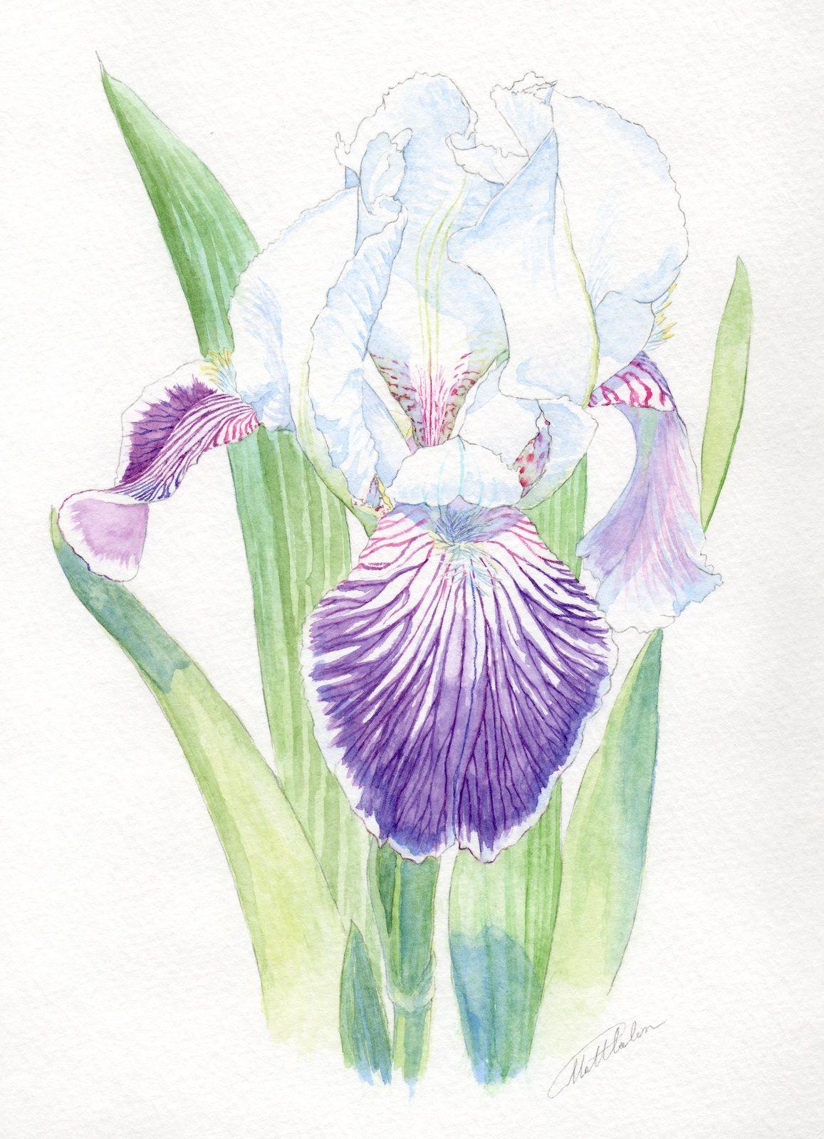 Purple Bi Color Iris Germanica Watercolor By Ianumeric Deviantart Com On Deviantart Botanical Art Flower Artwork Flower Drawing