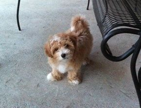 Apricot Maltipoo Pup From Kack S Poos In Toledo Ohio Maltipoo