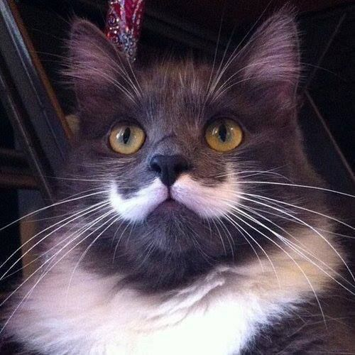 We do love a cat that has markings like a moustache This one is no exception……