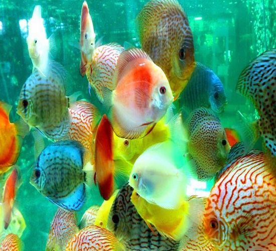 Assorted Mixed Discus 2 For Sale At The Lowest Price Tropical Fish Pictures Discus Fish Tropical Fish