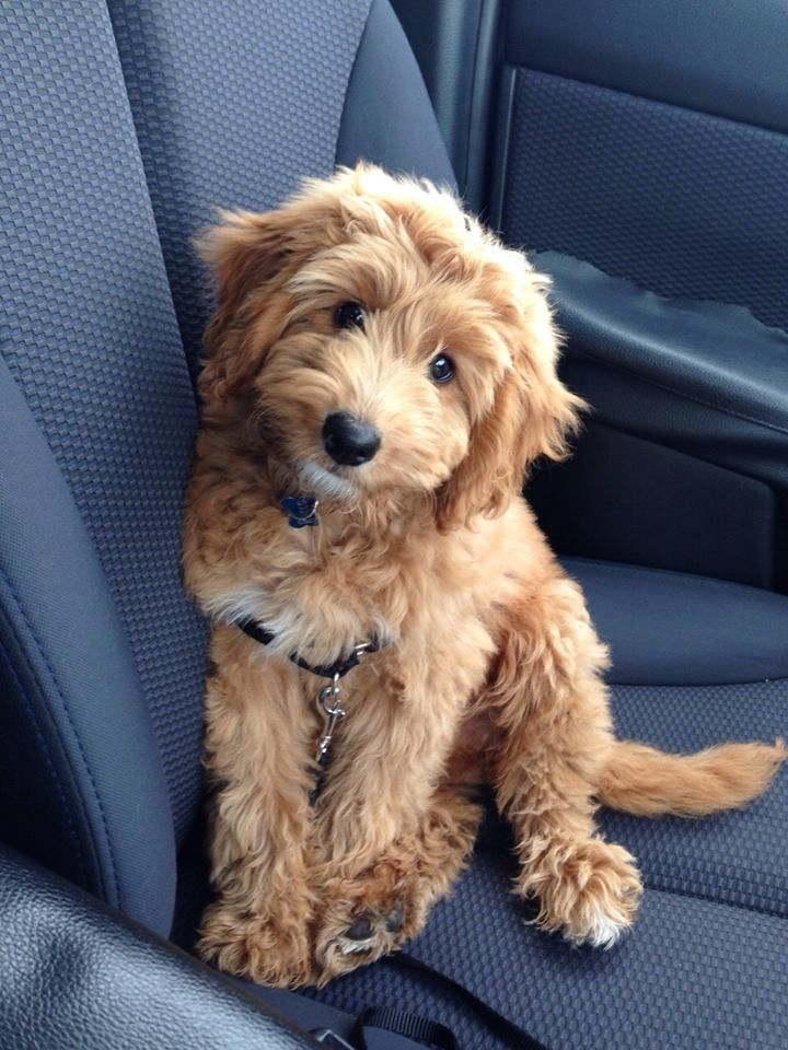 Rocco Fb1 Miniature Golden Doodle Cute Dogs