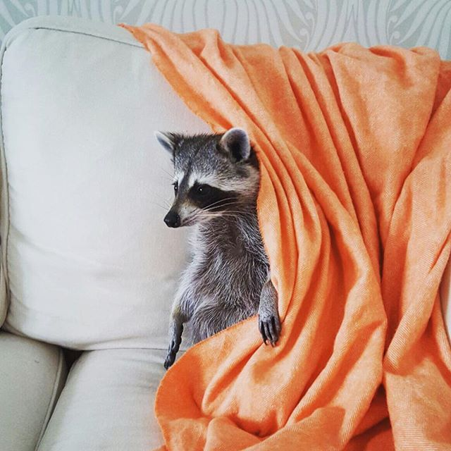 On the agenda: couch and cartoons!  #baby #raccoon #pumpkintheraccoon #weeklyfluff #instagood #instalike #igers #igdaily #cartoons #photos4ellen  #pets #petstagram #photooftheday