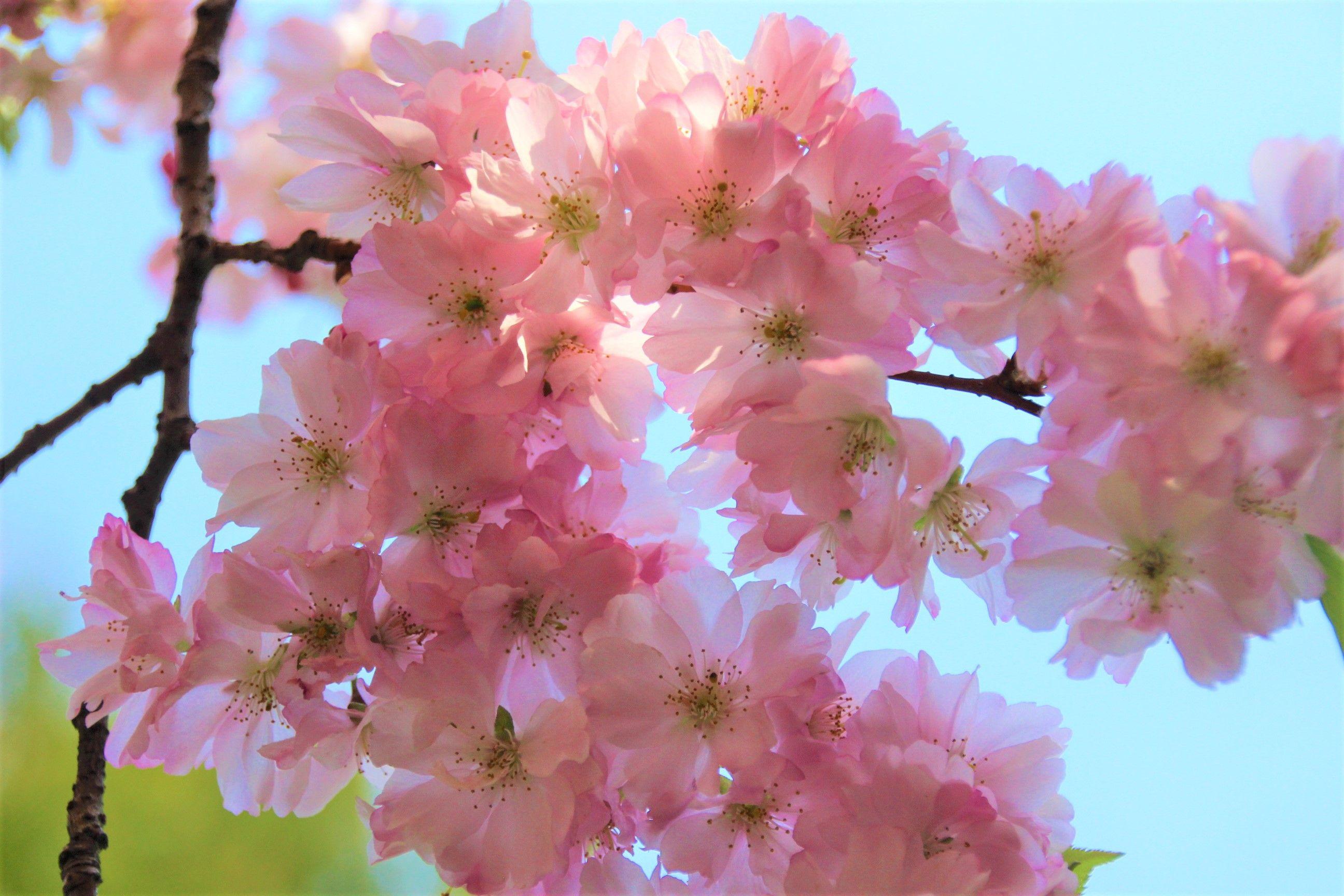Garten Der Welt Garten Sady Mira Der Japanische Garten Vodopady S Karpami V Temu Cvetenie Sakury Kamennyj Mo Ausflug Visit Berlin Garten