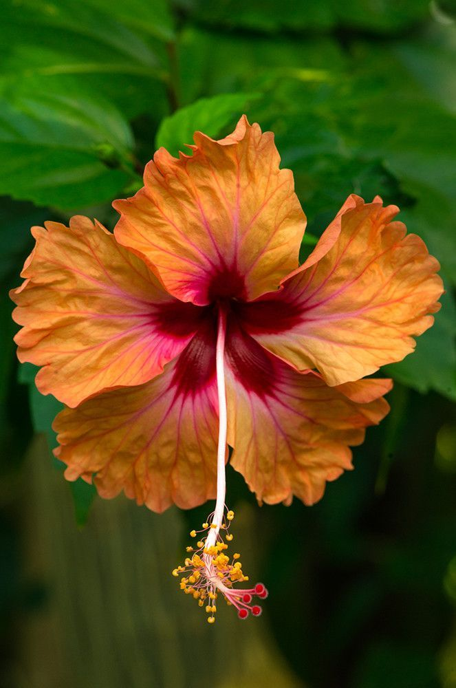 Beautiful Hibiscus Flores De Hibisco Hibisco Belas Flores