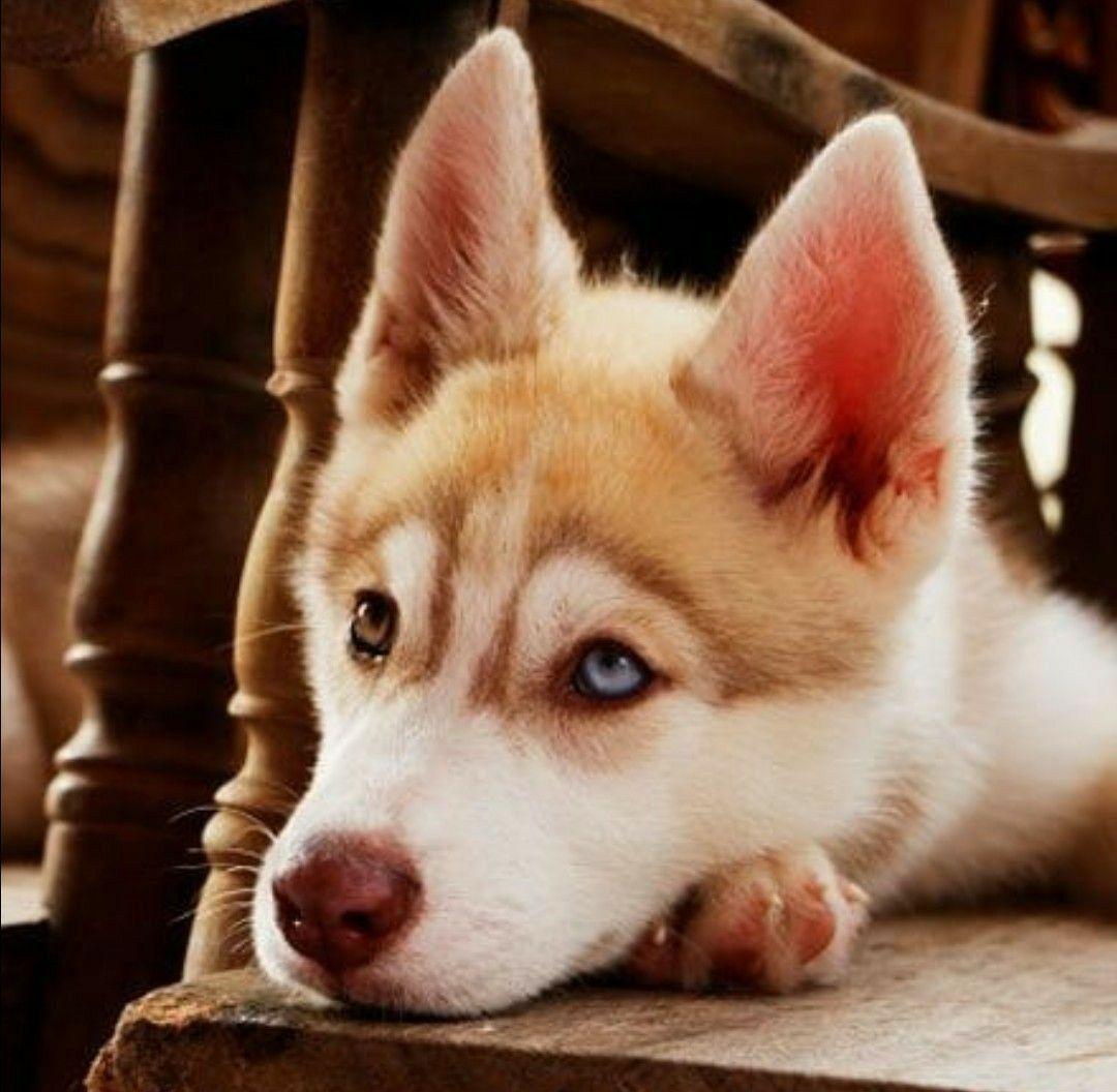 Me Waiting For My Burrito Siberian Husky Dog Siberian Husky