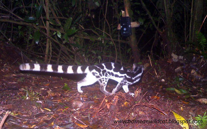 banded linsang crocker found at crocker range in borneo zoological