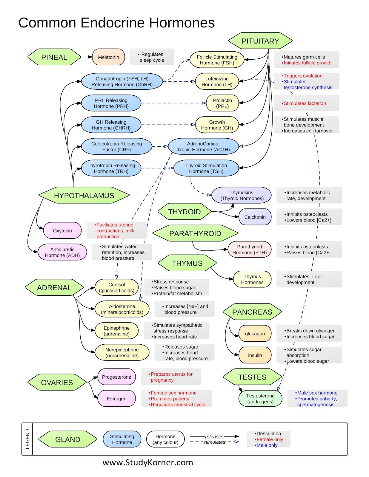 Common Endocrine Hormones Chart Endocrine hormones
