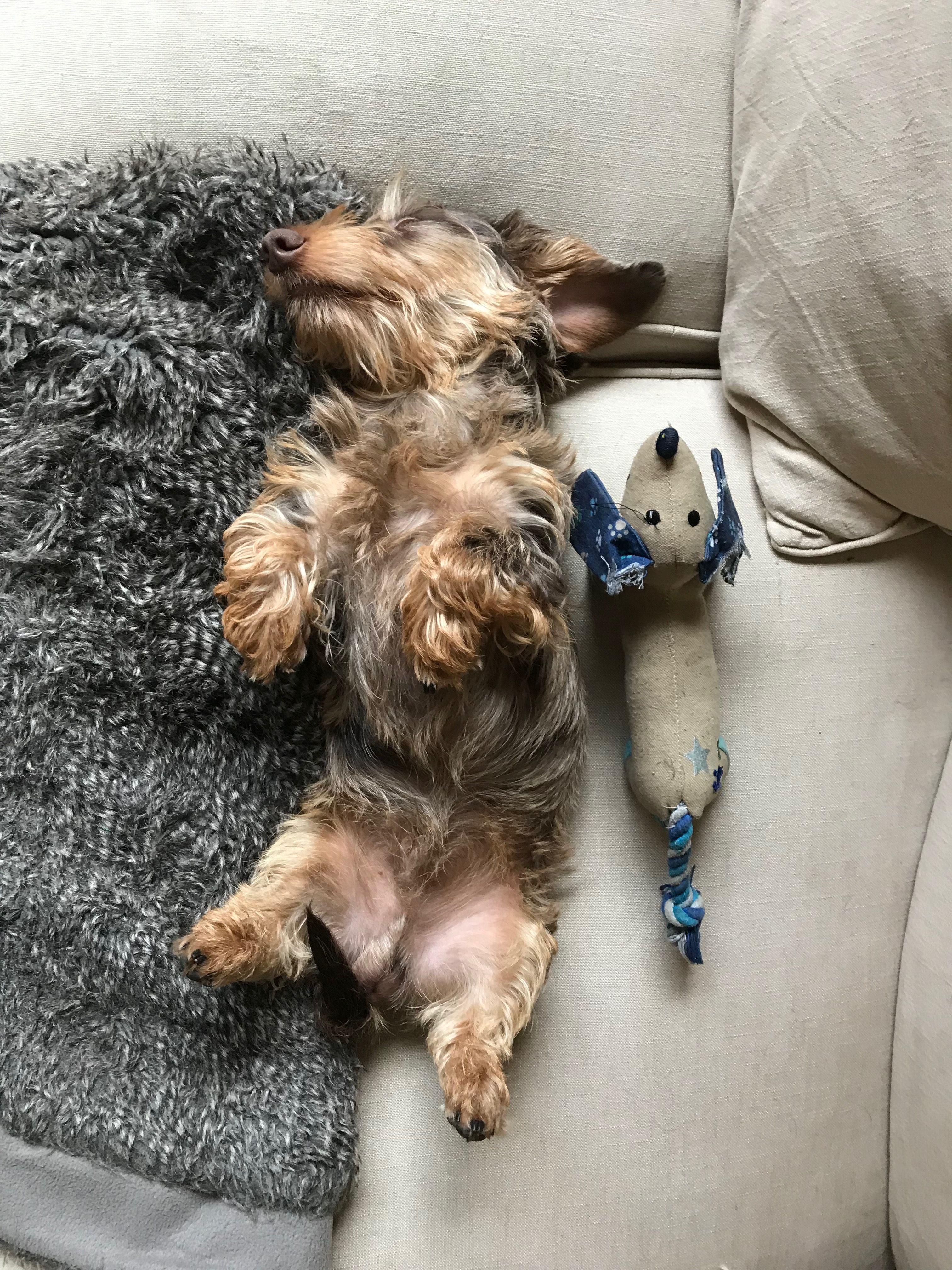 Precious Doxie And Her Stuffed Baby Dachshund Wire Haired Dachshund Dachshund Dog Dachshund Love