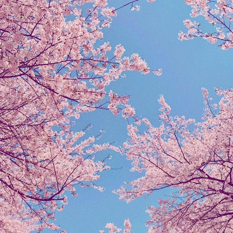 New The 10 Best Art With Pictures Cherry Blossom Season Is Almost In Full Bloom Keep An Eye Out For Wo Wonderful Flowers Cherry Blossom Season Cool Art