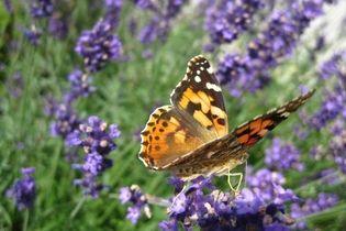 Motyl na lawendzie