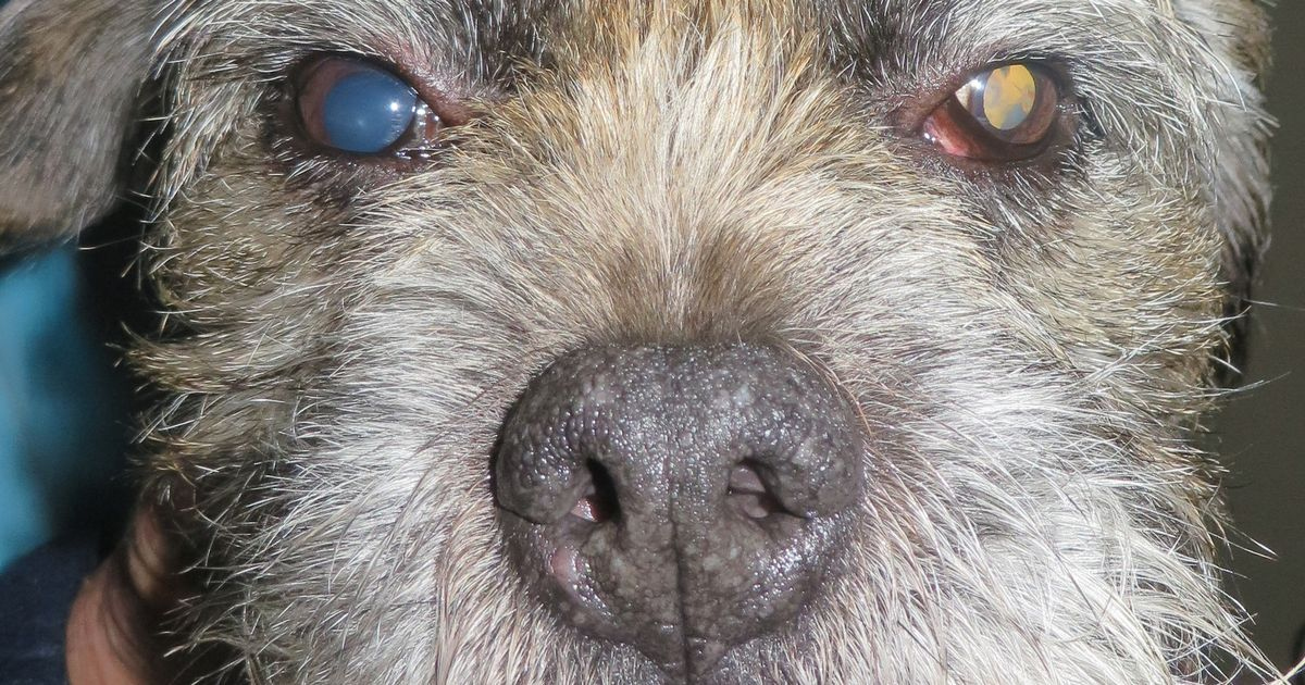 Owners Urged To Check Their Dogs Eyes Or Risk Them Going Blind