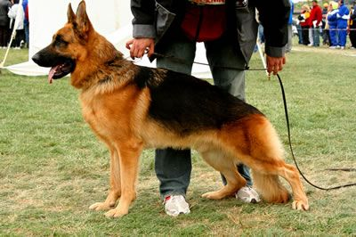 Stud Males - Kolenda Kennels   GSD   German shepherd