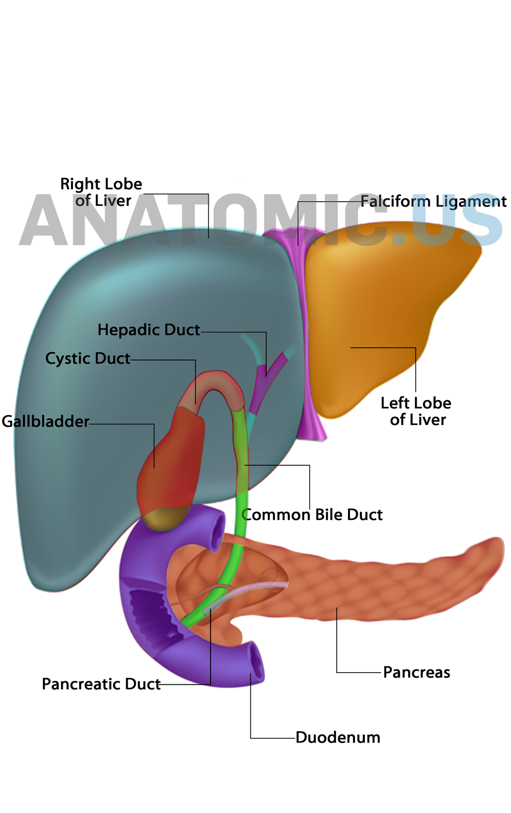 Liver - Gallbladder - Pancreas Anatomic.us #Anatomy #Flashcards ...