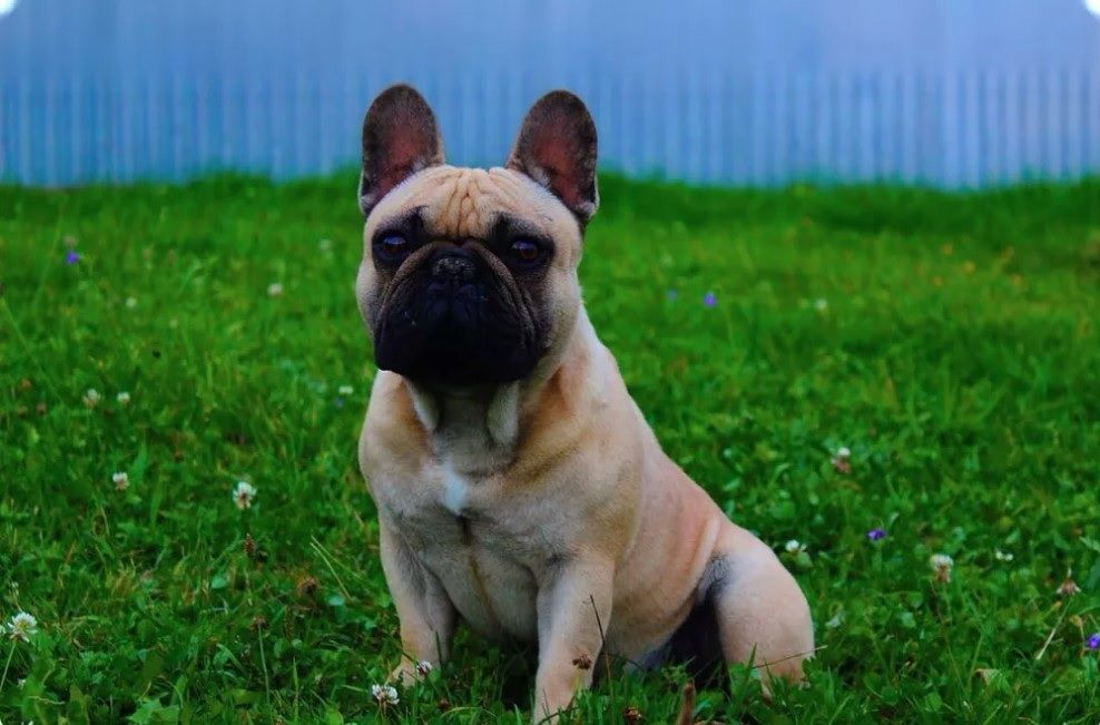 10 Best French Bulldog Names French Bulldog Names Bulldog