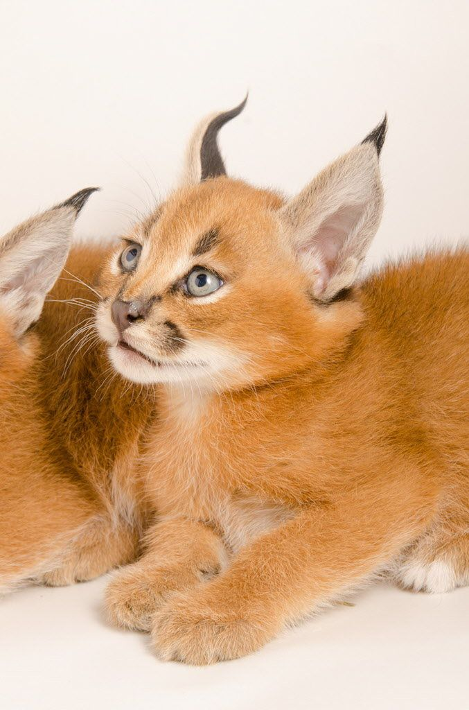 The Oregon Zoo's caracal kittens aren't on public display, but they appear ready for their close-ups. Photo by Michael Durham/Oregon Zoo