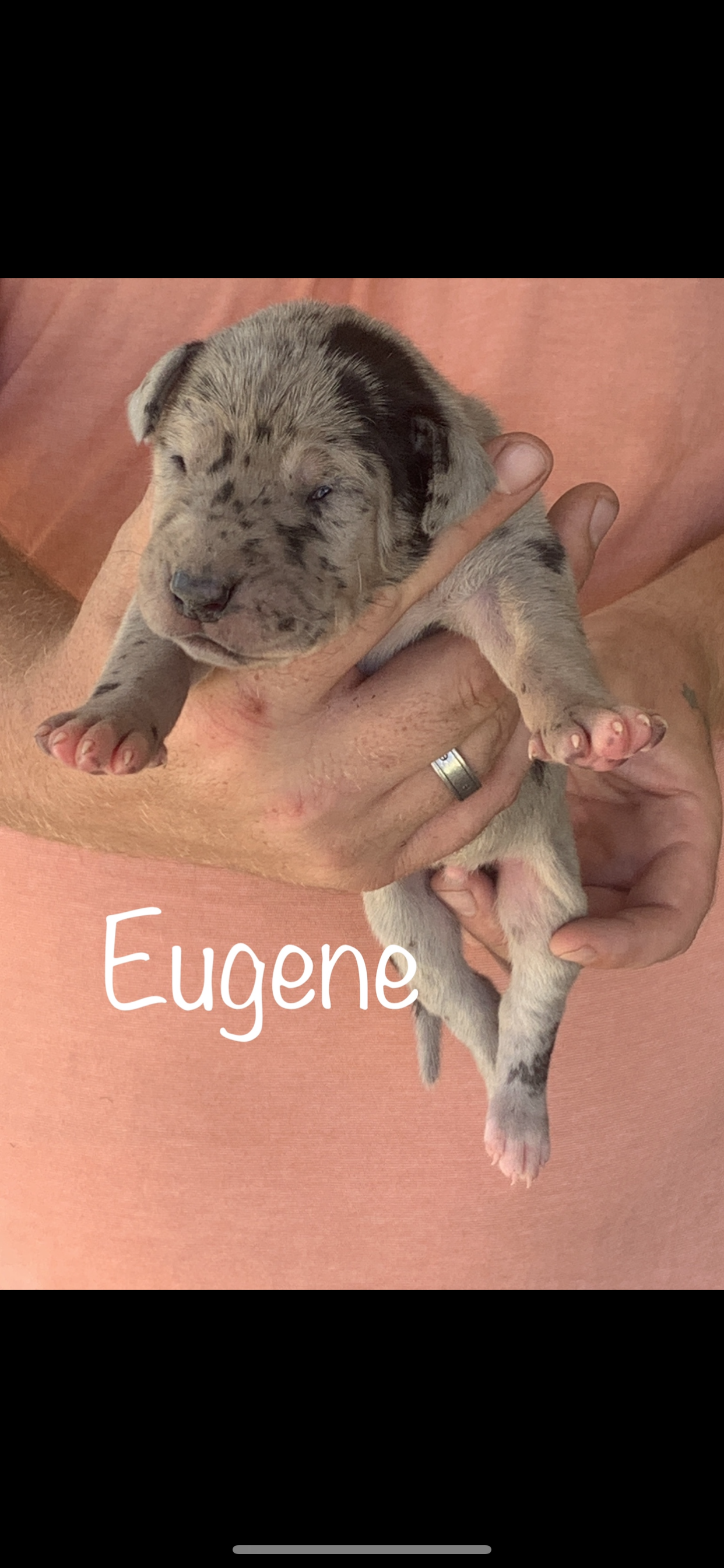 Greatdane Greatdanepuppy Puppy Available Available Puppy Greatdanes Texas Malepuppy Great Dane Puppy Great Dane Dane Puppies