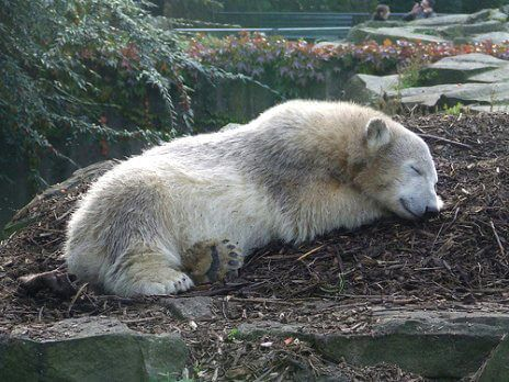 bea5dc803f Knut, the polar bear cub who was the toast of the Berlin Zoo four short years  ago, is dead. He was only 4 years old. trespassers william/c