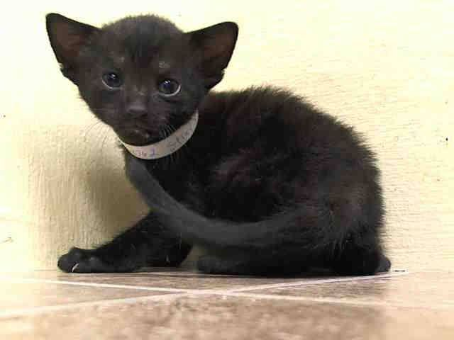 Safe 5 Week Old Kip Is Spokeskitten For The 23 Cats Mostly Kittens To Be Destroyed By Nyc Acc 07 02 14 Please Nyc Foster Cat Adoption Dancing Cat Animals