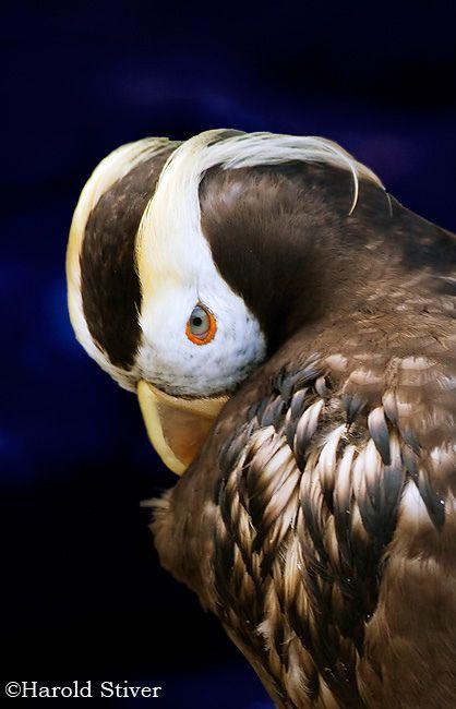 Tufted Puffin, Fratercula cirrhata | Flickr - Photo Sharing!