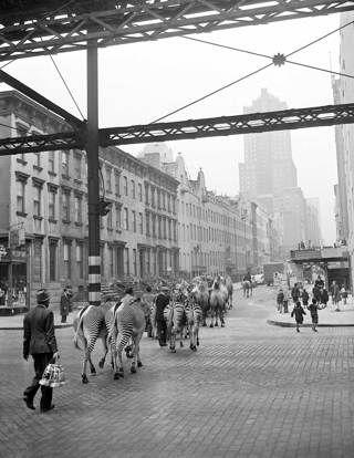 La parata per promuovere l'apertura del circo Barnum a New York, il 3 aprile 1942. - (John Lindsay, Ap/Ansa)