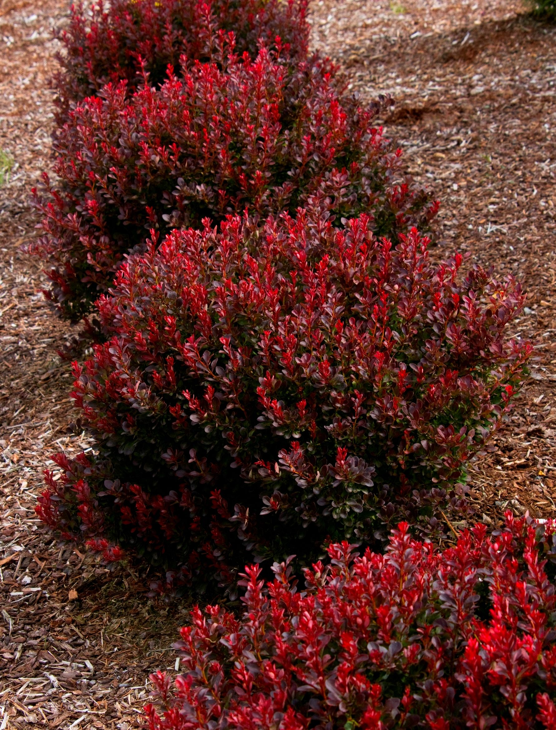 Shiny deep red leaves cover the naturally dense globe for Low maintenance plants shrubs