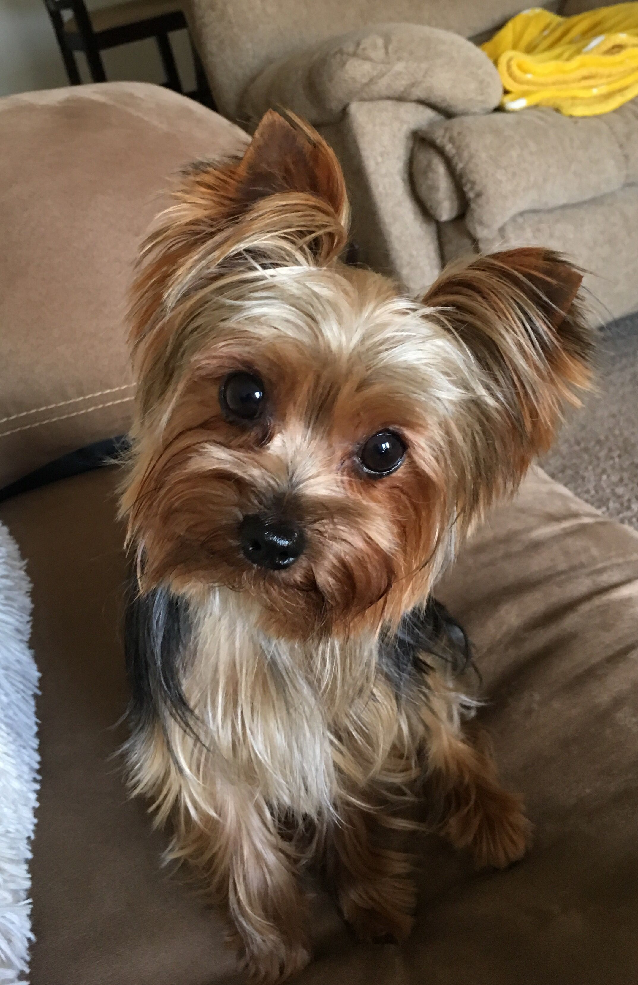 how to groom a yorkie with floppy ears